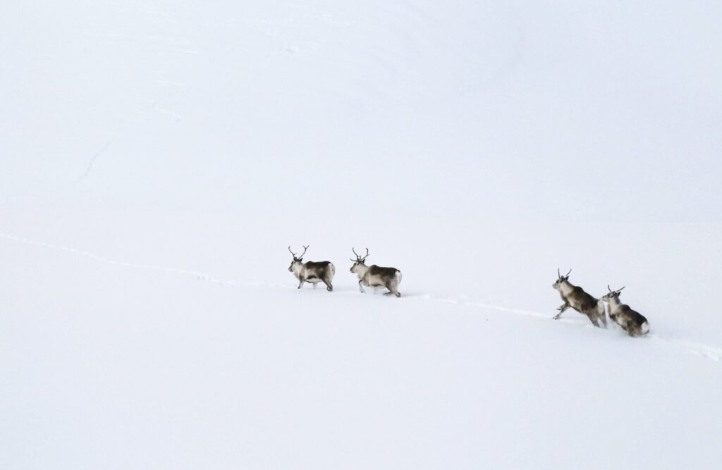 wild reindeer in iceland running in the snowy hills