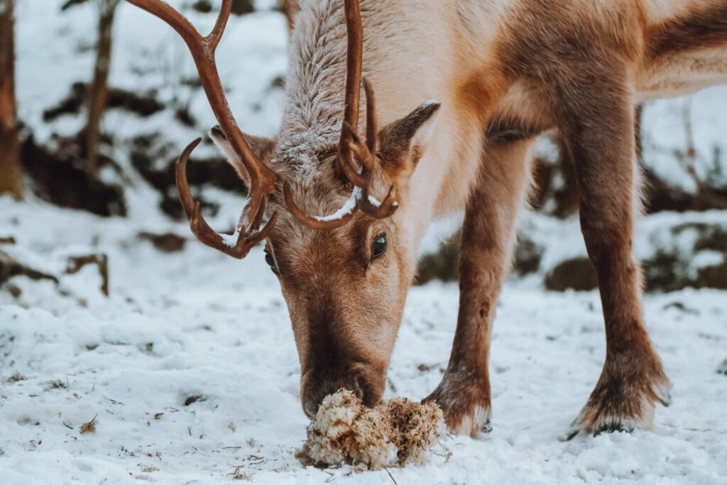wild reindeer in iceland eating moss