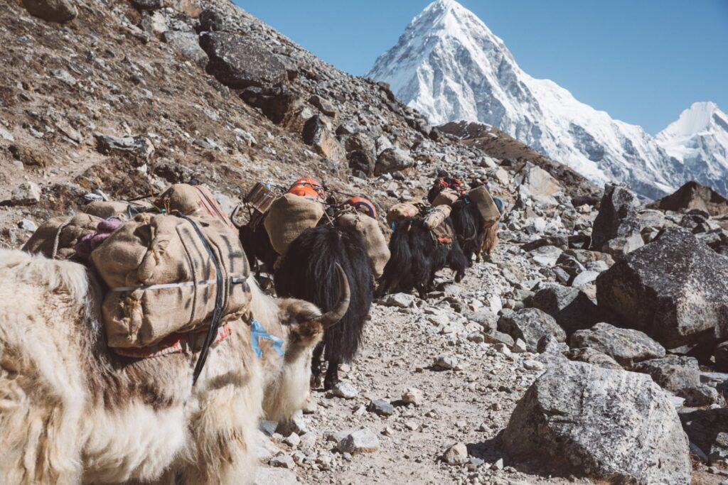 Three Passes Trek Lobuche Yaks