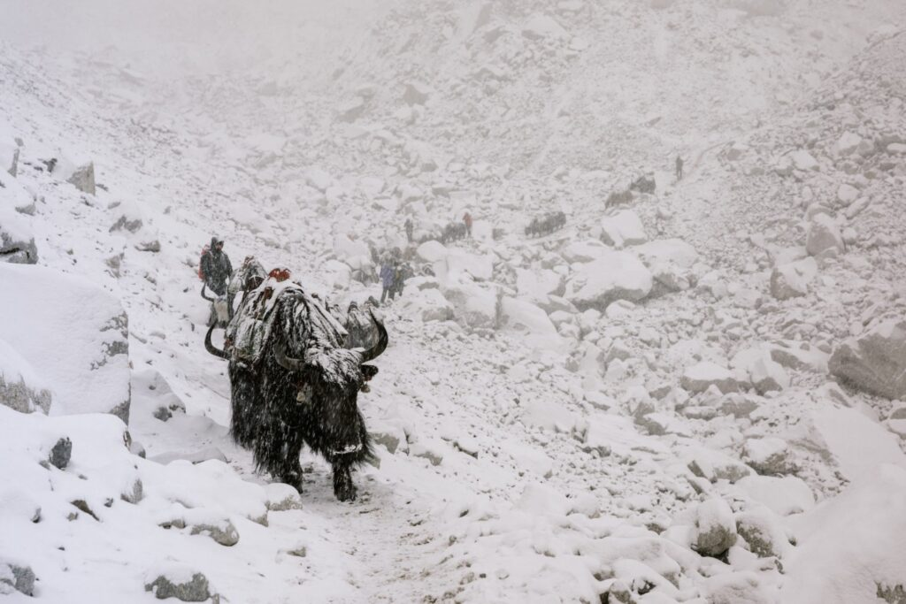 Yaks on The Three Passes and Everest Base Camp Trek