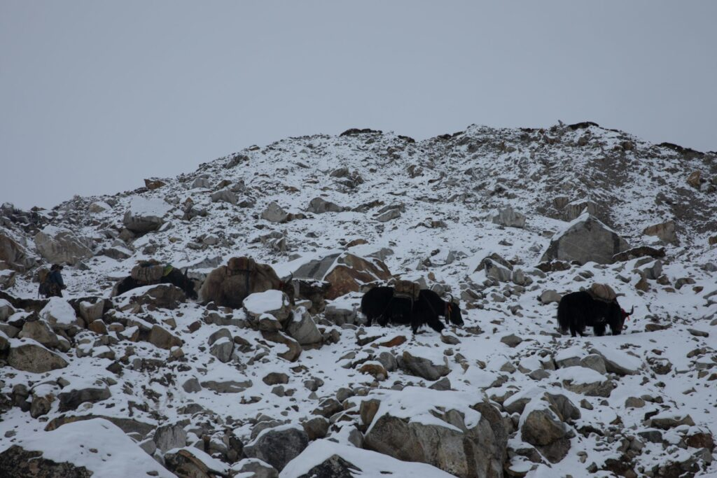 Yaks at Everest Base Camp