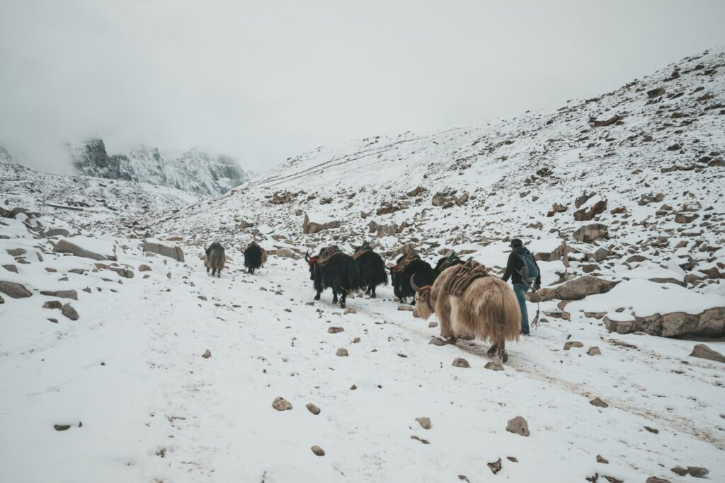 Everest Base Camp Yaks